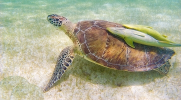 The sea journey of Caretta - Caretta
